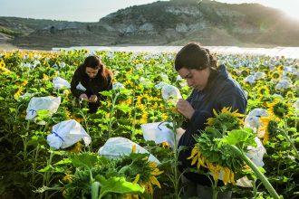 Mitarbeiter der Strube D&S GmbH bei der Sonnenblumenzucht. Das Unternehmen aus Söllingen veredelt und vermarktet international Saatgut für die Landwirtschaft und Industrie. Foto: Strube D & S